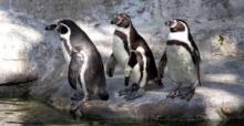 cluster of penguins
